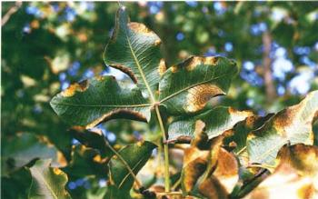 By converting from flood to buried drip irrigation, the orchard microclimate can be altered to improve the yield of marketable fruit, without fungicide sprays. Alternaria late blight symptoms are apparent on pistachio leaves, above.