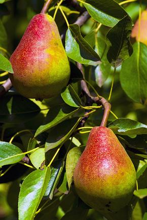 Pears290