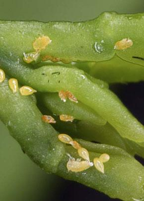 Asian citrus psyllid eggs and nymphs.