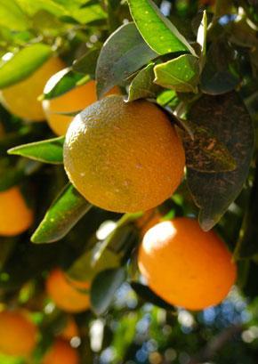 Oranges290